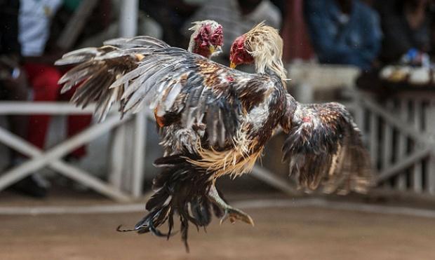 Agen Judi Sabung Ayam On-line Memberi Sensasi Baru